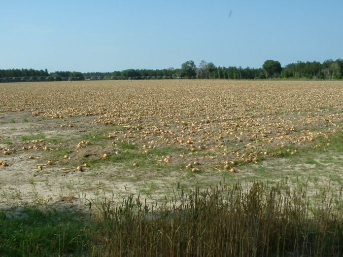 Vidalia Onions Ready For Harvest