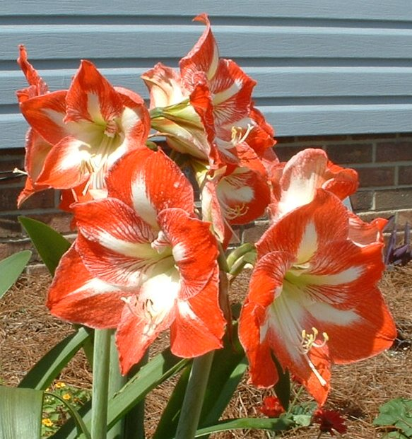 Amaryllis for Christmas