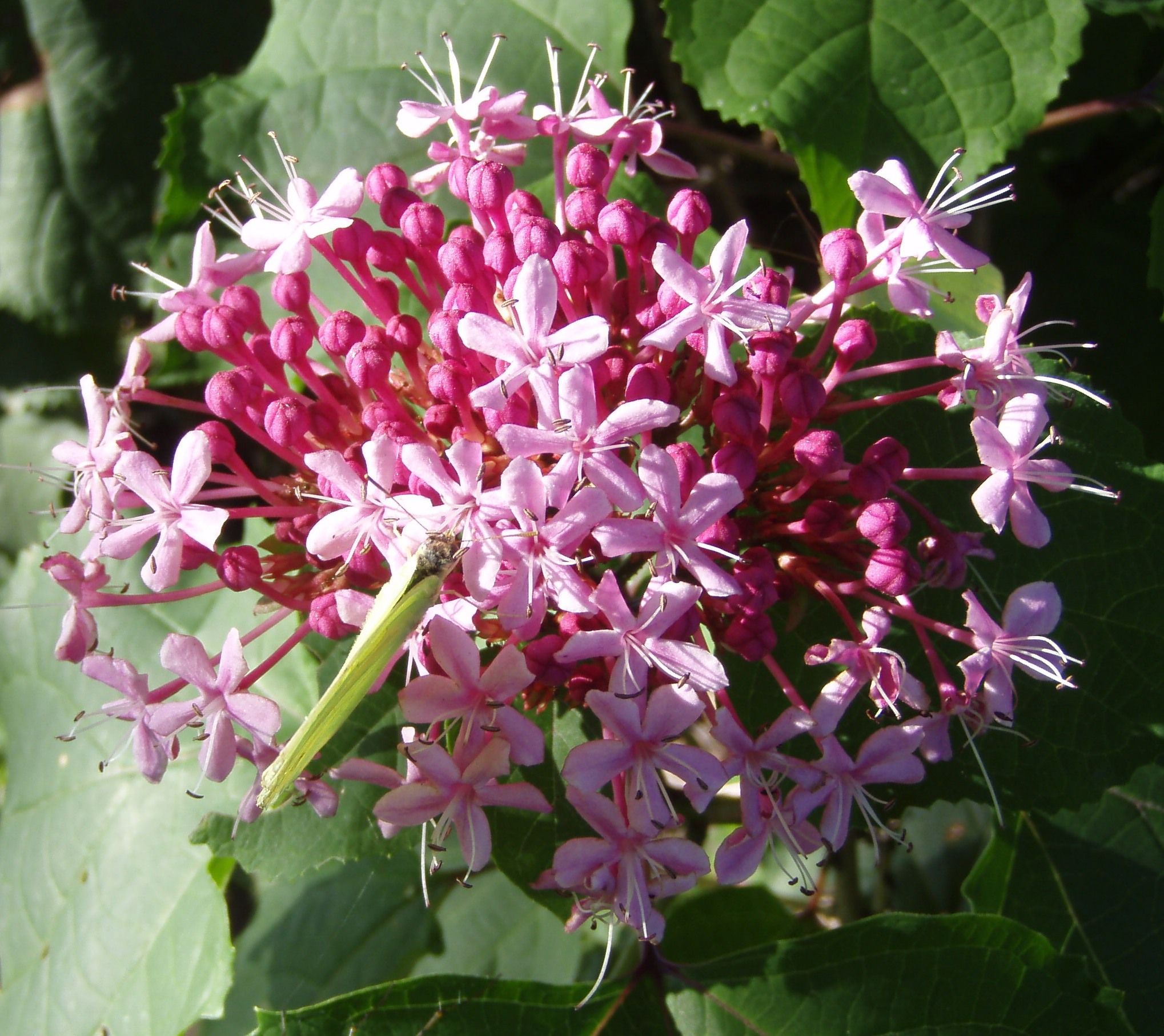 Blessings from god unusual and beautiful flowers i was thinking clerodendrum izmirmasajfo