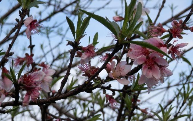 Confused January Peach Tree