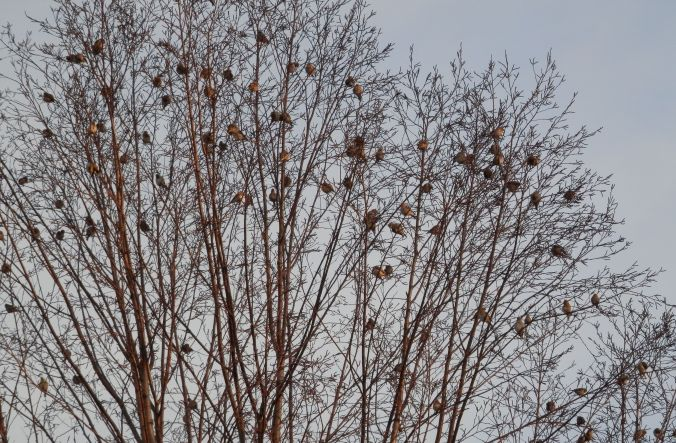 Birds in the Birch Tree Awaiting Sunrise