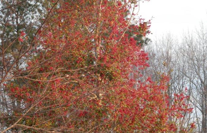 Savannah Holly Berries
