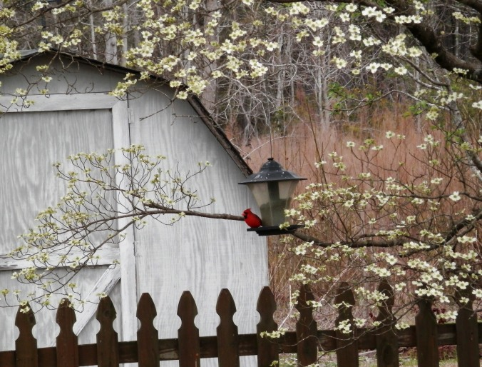 Dogwood, Cardinal and Springtime
