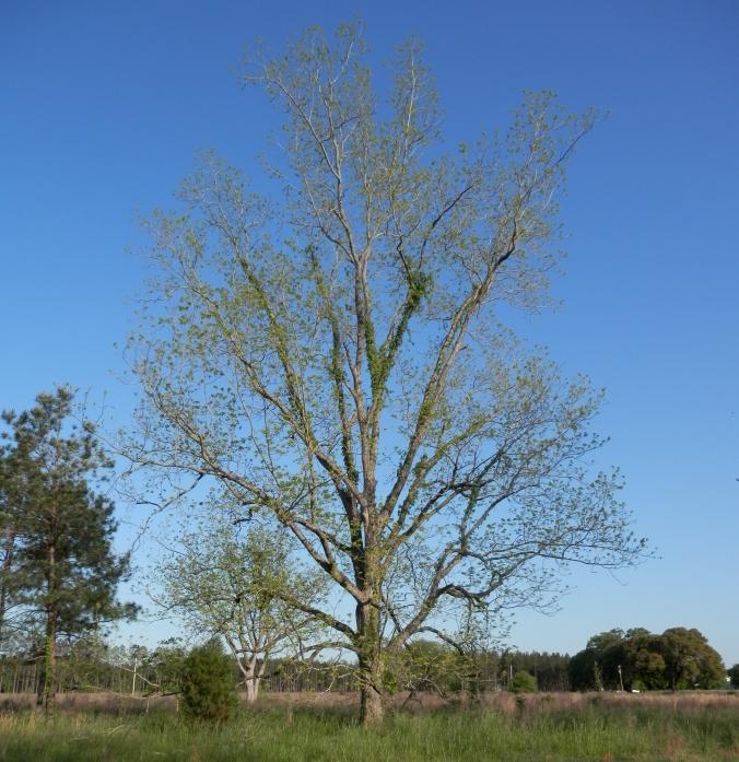 Budding Pecan Tree - Sure Sign of Spring