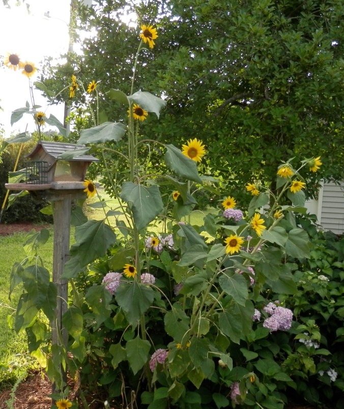 Bird Feeder and Sunflowers