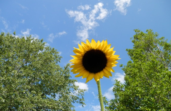 The Lone Sunflower