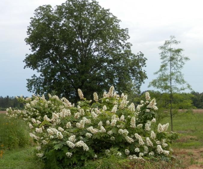 Oak Leaf and Trees