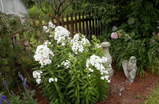 Phlox By the Fence