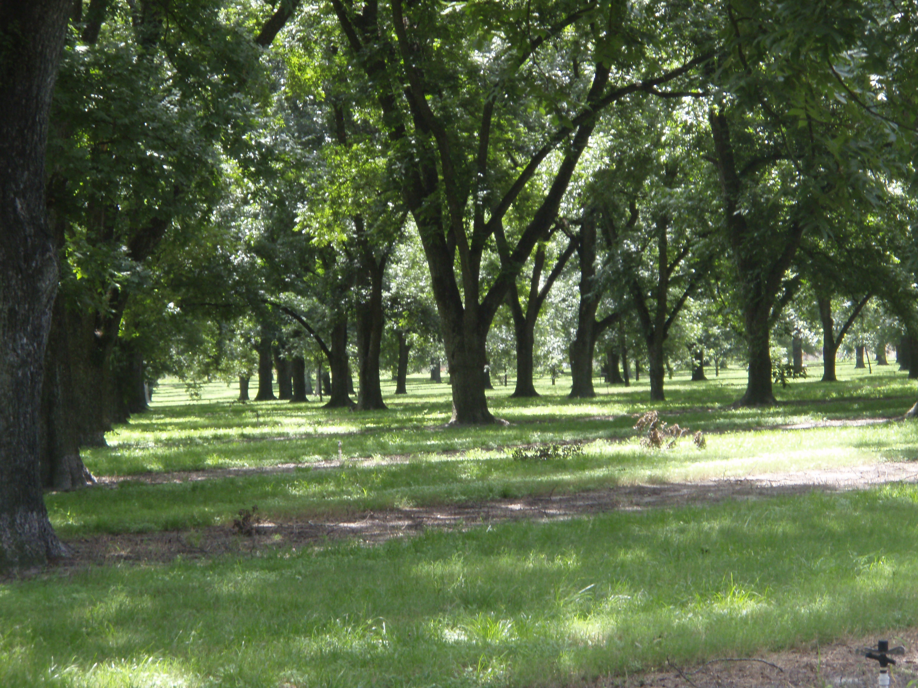 Pecan Orchard I Was Thinking The Other Day About