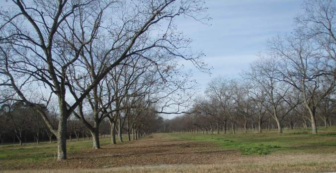 Pecan Orchard in Winter