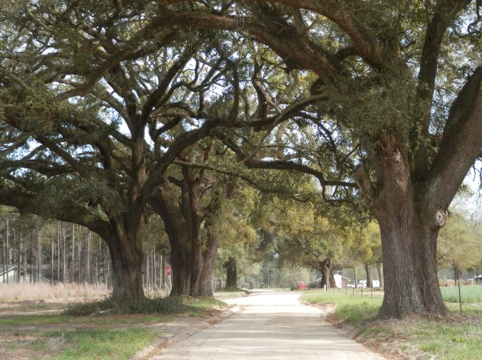 Brannen Oaks Closeup