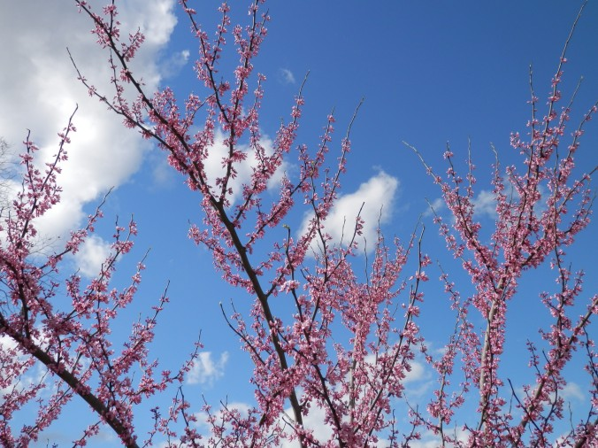 Redbud, clouds and sky