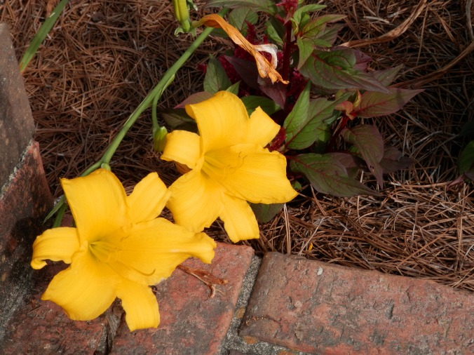 Day Lilies I