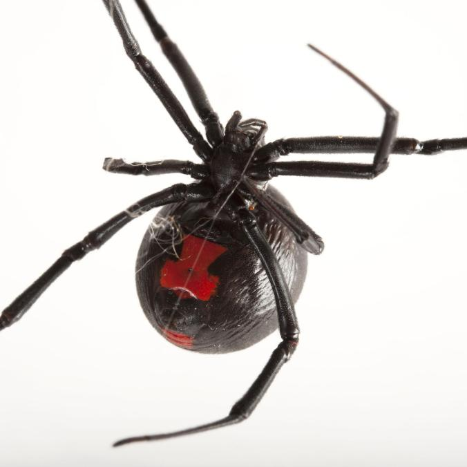 black-widow-spiders_thumb.ngsversion.1482872403820.adapt.1900.1